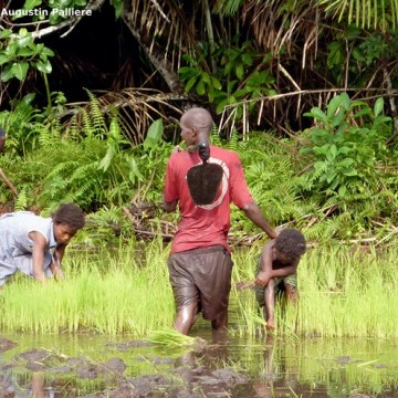 Augustin Pallière : La riziculture inondée paysanne en Sierra Leone