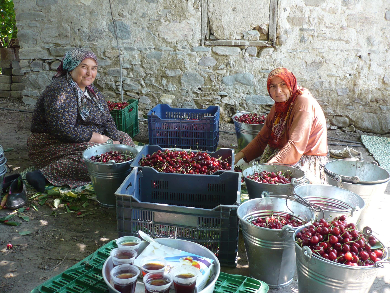 Photo 2 : Arboriculture développée grâce à l'eau souterraine : tri de cerises destinées à l'export à Armutlu (Kemalpaşa, Izmir, Turquie), 2015